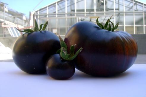 Томаты, выведенные израильскими агрономами