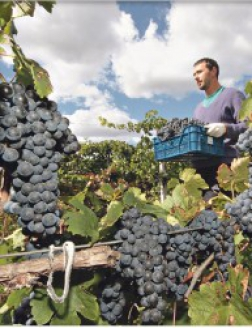 Крымские виноградники